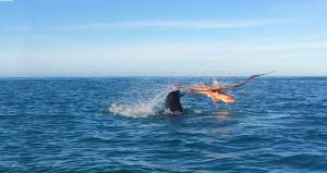 Ahtapot, 120 kiloluk fok balığını yendi!