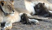 Farklı Türde Hayvanı Emzirmesi İmkansız Olan Anne Aslan, Yavru Leopar Emzirdi