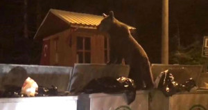 Aç kalan yavru ayı çöp konteynerlarında yiyecek aradı
