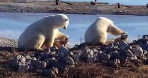 İkisi de birbirinden tatlı! Kutup ayısı ile köpeğin muhteşem dostluğu