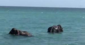 Sri Lanka'da denizde mahsur kalan iki fil, askeri gemilerle kurtarıldı