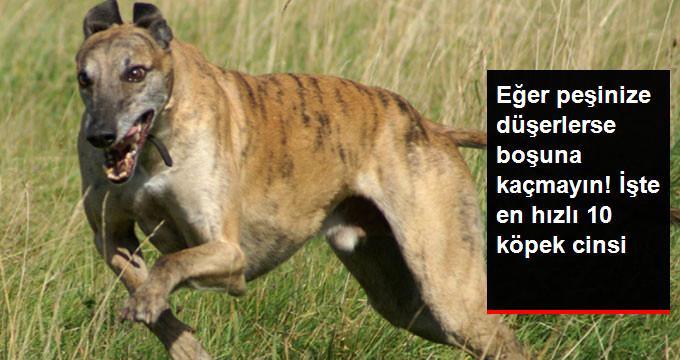 Eğer peşinize düşerlerse boşuna kaçmayın! İşte en hızlı 10 köpek cinsi