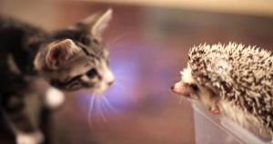 Yavru kedinin kirpiyle tanışma anı izleyenlerin içini ısıttı