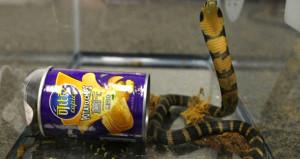 Zehirli kobraları yiyecek tenekelerinde saklayan kaçakçı yakalandı
