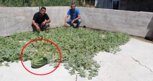 Kamelyanın altından karpuz filizlendi! Üreticiler tohumun peşine düştü