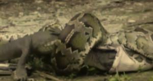 Piton yılanı, timsahı önce boğdu sonra yuttu