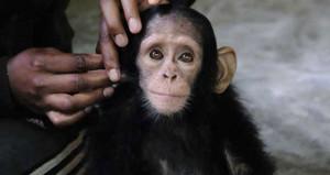 10 aylık şempanzenin mahzun bakışının bir sebebi var