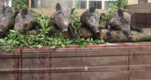 Vurdukları domuzları kamyona yükleyip tören alanından geçiş yaptılar