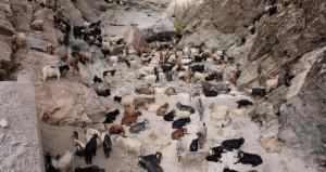 Sürü psikolojisiyle arka arkaya uçurumdan atlayan 120 keçi telef oldu