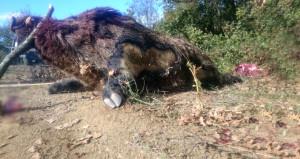 Avcılar bile şaşkına döndü! 300 kiloluk domuzu bu hale getirdiler
