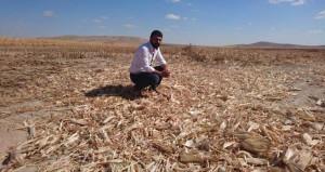 Tarladaki 120 ton mısırı bir gecede biçerdöverle hasat edip çaldılar