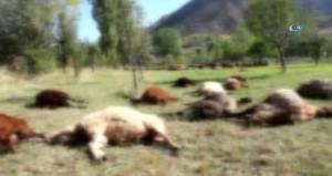 Çobanın uyumasını fırsat bilen kurtlar, 40 koyunu kaptı!