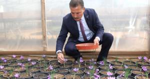 Mersin'de dünyanın en pahalı baharatı üretiliyor! Kilosu 45 bin lira