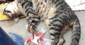 Vicdansızlık! Kedinin ayaklarını bağlayıp işkence ederek öldürdüler