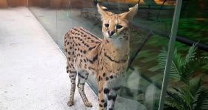 Bir AVM vahşi kedileri cam kafeste seyre açtı, sosyal medya yıkıldı