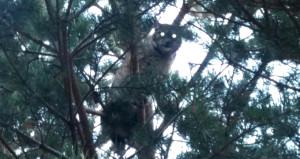 Nesli tükenmekte olan hayvanı, köylüler Kars'ta görüntüledi