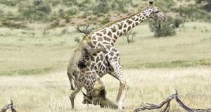 2 aslanla, 5 metrelik zürafanın ölümüne savaşı anbean görüntülendi!