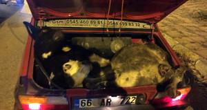 Akıl almaz hırsızlık! 4 büyükbaş hayvanı otomobille çaldılar