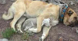 Merhametin resmi! Kangal köpeği, yeni doğan kuzuya sarılıp uyudu