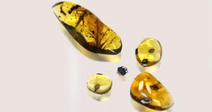 Dinozor kanı emiyorlarmış! Amber içinde 99 milyon yıllık kene bulundu