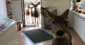 Marketi basan geyik, çikolatanın tadını sevince ailesiyle geri geldi
