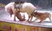 Sirkte kaos anları! Aslan ile kaplan bir oldu, atı parçalamaya çalıştı