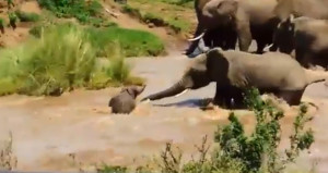Akıntıya kapılan yavru filin zor anları! Sürüdeki filler yardıma koştu
