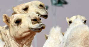 Diskalifiye edildiler! Güzellik yarışmasında 12 deve botokslu çıktı