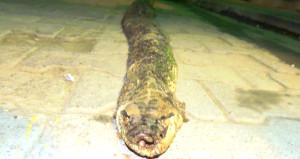 Timsaha benzeyen devasa yılan ölüsü bulundu