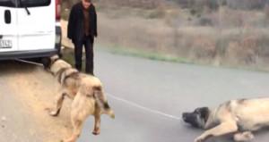 Köpeğe işkence yapan vicdansız sürücüden akılalmaz savunma!