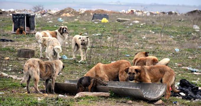 Edirne'de 500 köpek birden kayboldu!