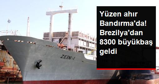 Yüzen Ahır Bandırma'ya Demirledi, Brezilya'dan 8300 Büyükbaş Geldi
