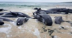 150 balina karaya vurdu, halk denize döndürmek için seferber oldu