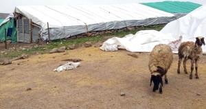 Bir kedi, 14 koyunu nasıl telef etti?