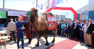 Açık artırmayla satılan devenin fiyatı dudak uçuklattı