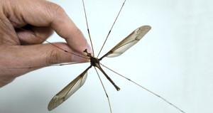 Dünyanın en büyük sivrisineği bulundu