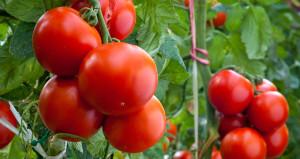 Rusyadan 5 Türk firmasına daha domates izni
