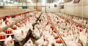Beyaz ette kriz! 20 günlük tavuk kaldı, fiyatlar iki katına çıkacak