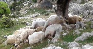 Koyunlarına bakmaya giden çoban hayatının şokunu yaşadı!