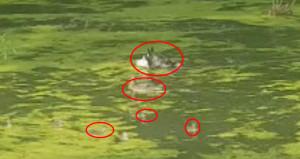 Anne ördek yavrularını köpekten canı pahasına böyle korudu!
