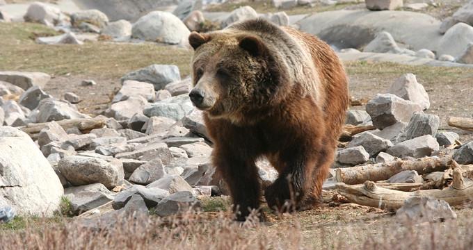 Genç adam, saldırıya uğradığı ayıyla birlikte uçurumdan yuvarlandı