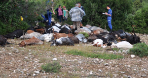 Çoban su içmeye gitti, döndüğünde sürünün tamamı cansız yatıyordu