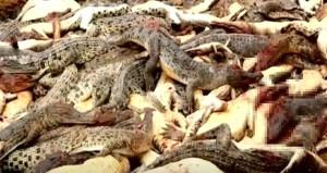 İntikam isteyen köylüler timsah çiftliğini bastı, 292 hayvanı öldürdü!