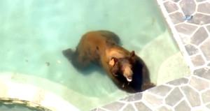Sıcaklardan bunalan vahşi ayı havuz keyfi yaptı