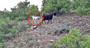 Kaybolan keçileri teker teker bulup sahibine teslim etti