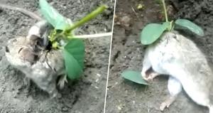 Sırtında bitki yeşeren sıçan, izleyenleri şaşkına çevirdi