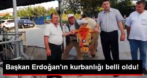 Başkan Erdoğanın kurbanlığı belli oldu!