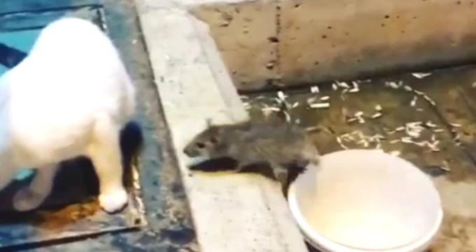 Psikopat farenin kuyruğunu tutan kedi, neye uğradığını şaşırdı!