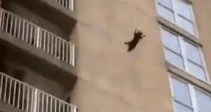 6ncı kattan atlayan rakun, hiçbir şey yokmuş gibi yoluna devam etti