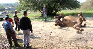 Bakıcısını feci şekilde öldüren devenin akıbeti belli oldu